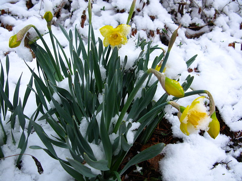 Spring-Snow-Flowers-from-ForestWander