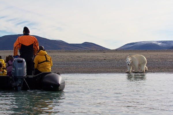 Polar Bears on Wrangel Island